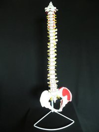 Human Vertebral Column With Pelvis Model