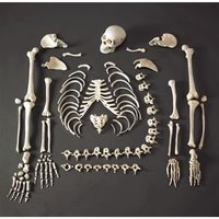 Disarticulated Life Size Skeleton For MBBS Students