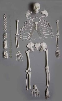 Disarticulated Life Size Skeleton Models