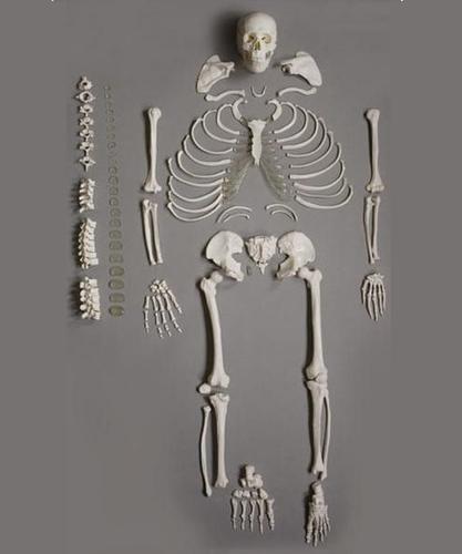 Disarticulated Bone Set Model