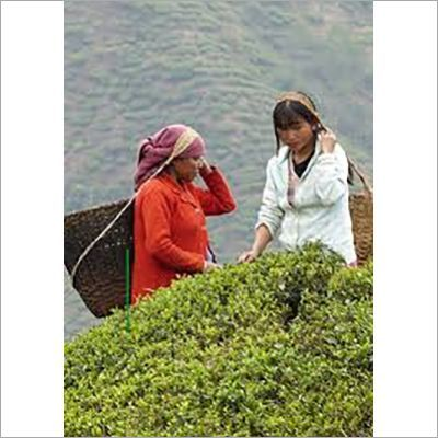 Assam Tea - Assam Chai Manufacturers, Suppliers & Dealers