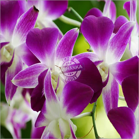 Tissue Culture Orchid Plant