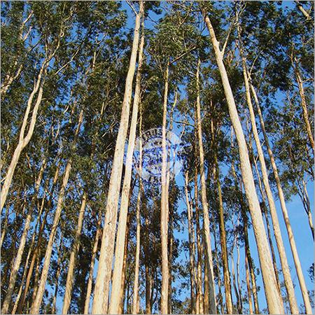 Tissue Culture Eucalyptus Plant