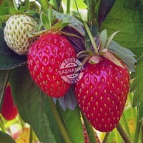Tissue Culture Strawbery Plant
