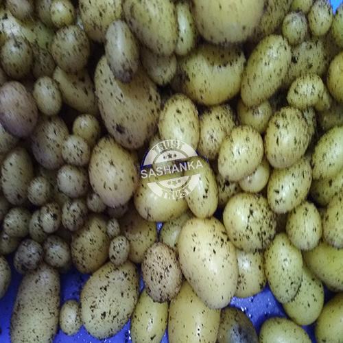Potato Mini Seed  Tubers