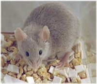Breeding & Lactating Mice Feed