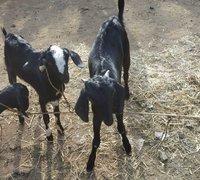 Desi Goat