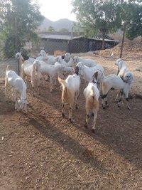 Sojat Goat