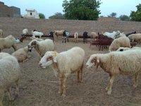 Local/Desi Sheep