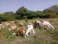 Deccani Sheep