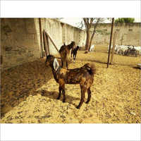 Sirohi Female Goat