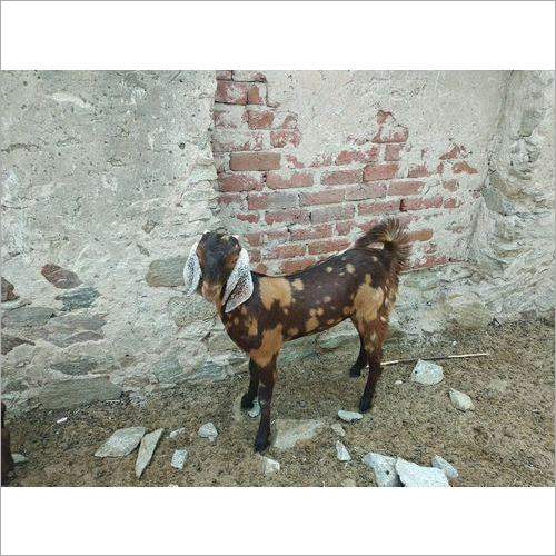 Sirohi Brown Female Goat
