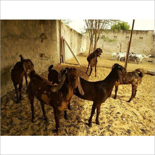 Pure Sirohi Female Goat