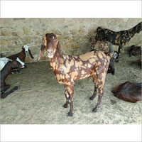 Sirohi Male Pet Goat