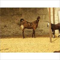 Sirohi Pet Goat