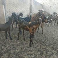 Sirohi Farmer Goat