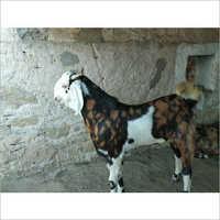 Gujari Pet Goat