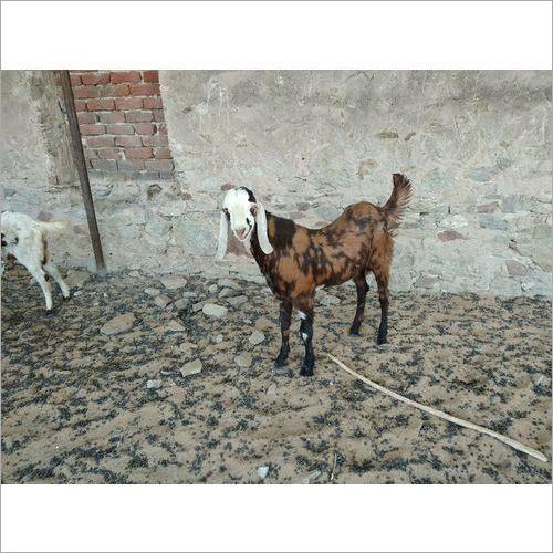 Gujari Goats