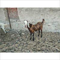 Gujari Male Goat