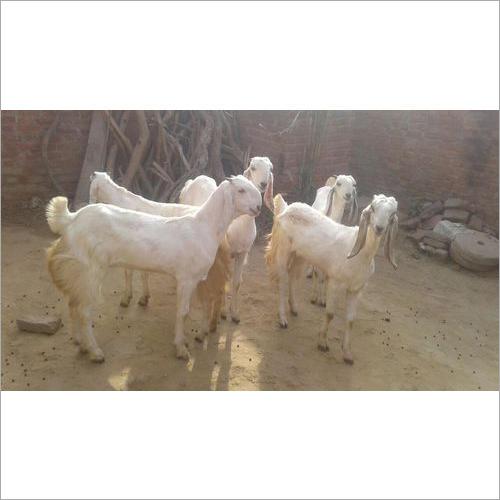 Jamnapari White Goat