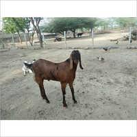 Kota Male Goat