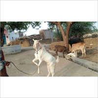 Kota Female Goat