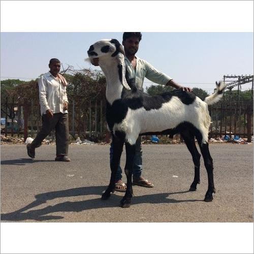 Beetal Male Goat