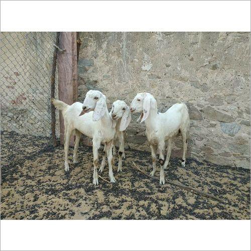 Sojat Goats