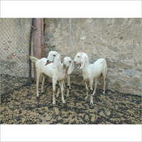 Sojat Female Domestic Goat