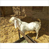 Sojat Male Goat