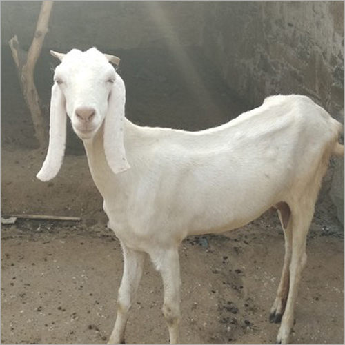 Pure Sojat Male Goat