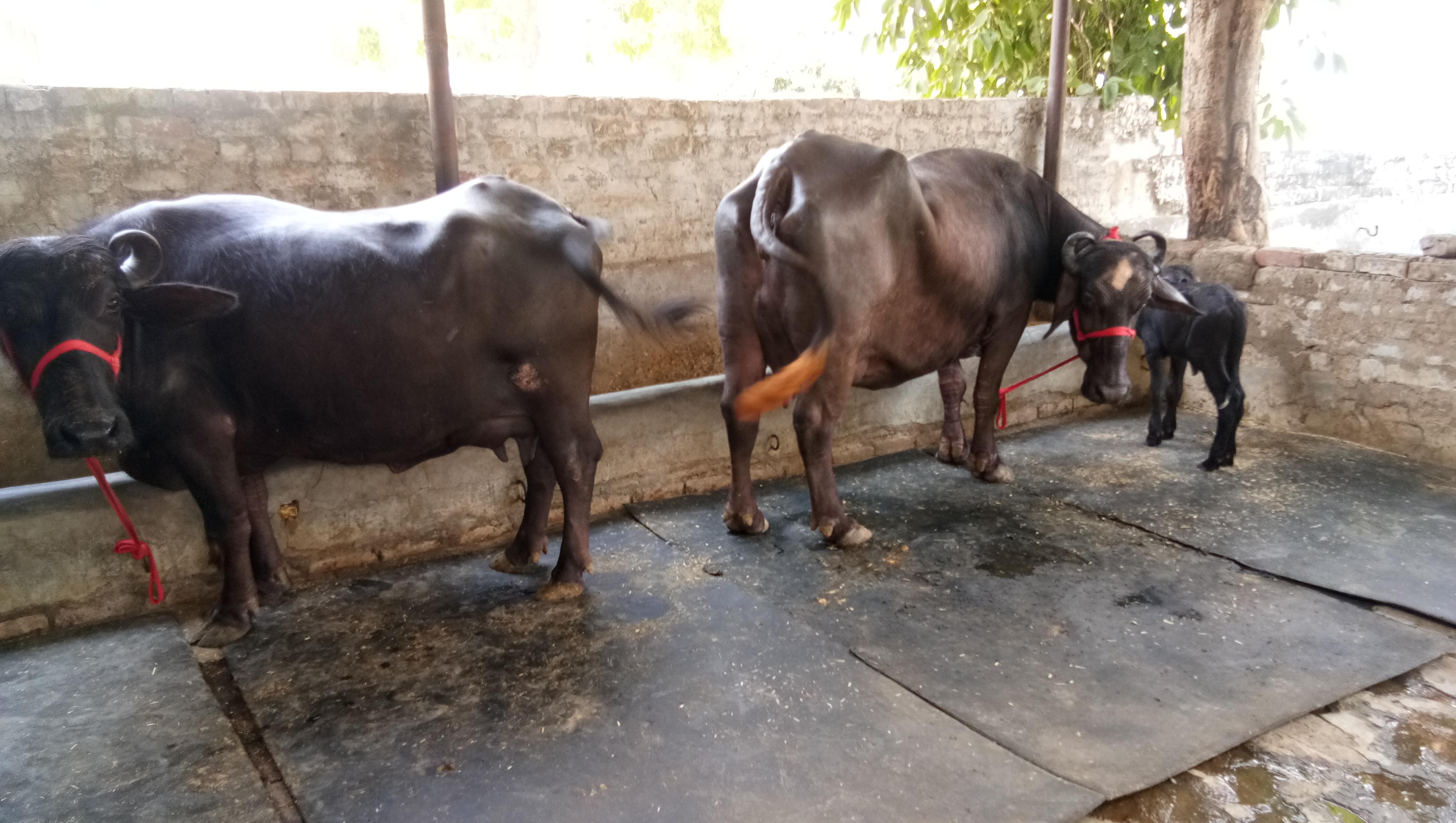 Indian Dairy Farming Murrah Buffalo