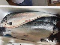 Fresh Frozen Salmon/Salmon Fish Fillets