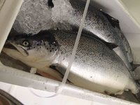 Red Fish Frozen Natural Pink Salmon From Norway