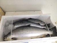 Tuna Fish Whole Round, Salmon Fish, Frozen