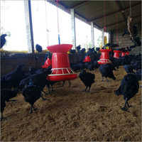 Kadaknath Live Chicken