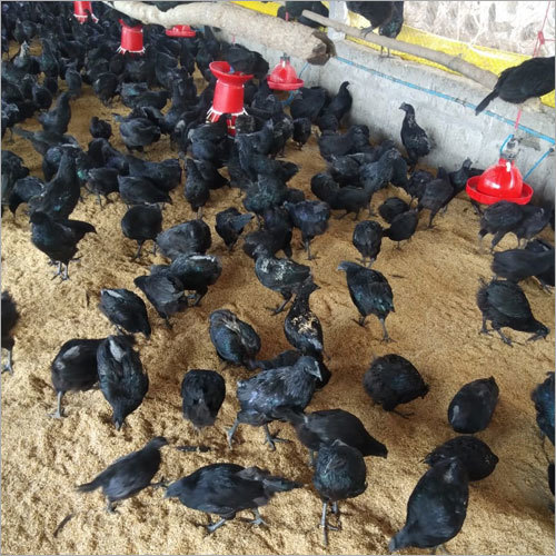 Poultry Kadaknath Chicken