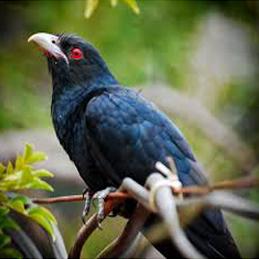 Koel Bird