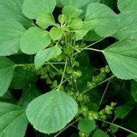 Kuppaimeni Dry Leaves (Acalypha indica)