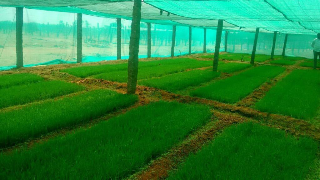 Organic Wheatgrass Tablet