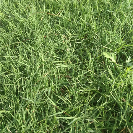 Lawn Variety Selection