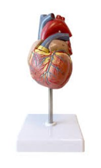 Model Heart Human Real Size