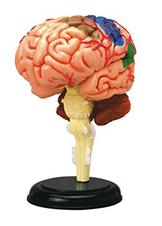 Detachable Brain Model