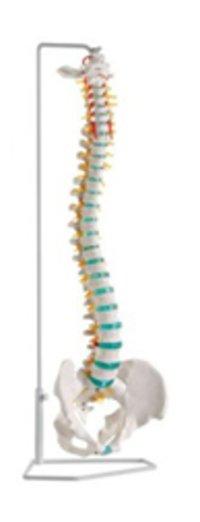 Vertebral Column With Flexible Basin