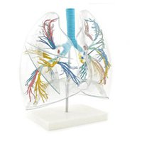 Transparent Lung Model