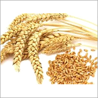 Indian Wheat Grain