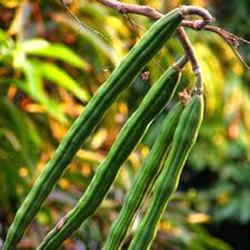 Plant Drumstick