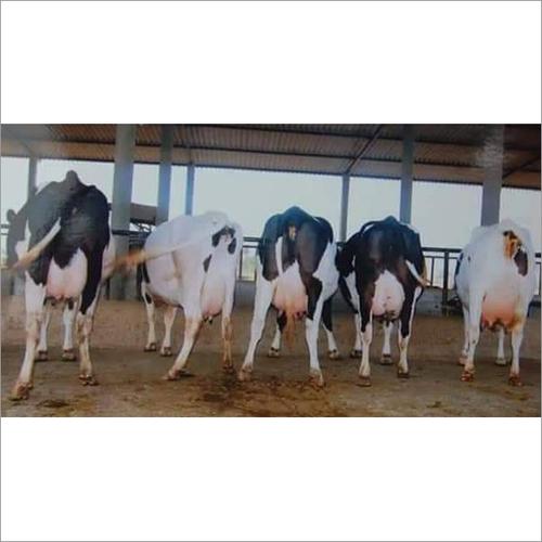 Diary HF Cow