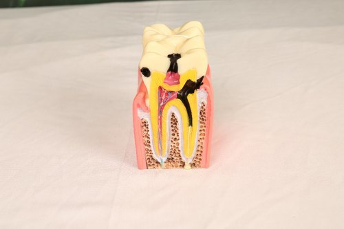 Two Tooth Model