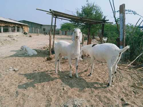 Eid Special Goats
